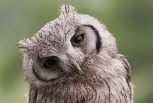 Beauty of Animals- Owl (Our) friends / by Eileen Toh