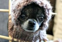 a little bit of chihuahua in your life