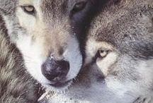 Wolves / Amazing animals
