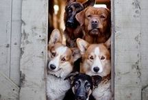 """All Our Dogs Group [(ᵔᴥᵔ)] / I am owned by a Yorkshire Terrier and an Australian Red Heeler mix, but I also appreciate the beauty & strengths of other breeds, even if I'm not compatible enough with them to want them for my own. This board is for you to share (only) PICTURES OF DOGS you love. Follow and comment @eclecticjan if you would like to contribute. Please join my """"All Pets' Stuff"""" board to pin rescues, causes, or other pet-related things. NO ADS, please."""