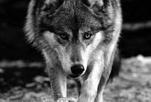 Wolves / It's impressive how some animals so magnificent as wolves and amazing you can kill in just a moment. Even though we can't actually sees, we can see their photos caught in the most truthful moments.