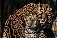 Wilde dieren / Van leeuw tot tijger tot...