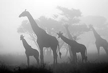 """Giraffes"" / by Shawna Hoffs"