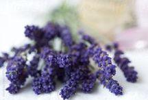 Lavender Lilacs & Purple ♡