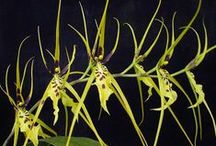 *** Brassia *** / Please follow this group board and we'll add you. Thanks for sharing your Brassia Orchid pins.    Brassia  #orchid #orchids #brassia #flower #flowers #love #orchidaceae #plant #plants #pink #greenhouse #indoor #houseplant #garden #gardens #gardening #nature