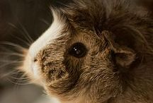 My Guinea Pig / Squeak...Squeak... No one can resist the gorgeous sound of little Cavies!