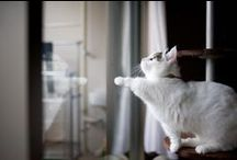 Munchkin Cats / Short legs. Funny eyes. Fast movements. Sweetness is overwhelming
