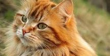 Maine Coon / King-size cats