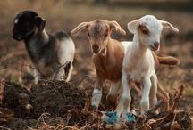 farm animals / by Donna Mantore