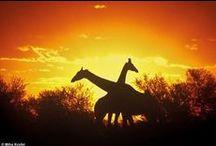 Girafffeeeeeees