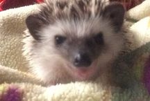 Leonard The Hedgehog / Hi, I'm Leonard! I was born September 12, 2016!