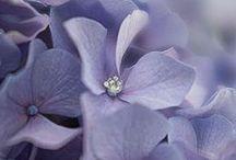 Hydrangea- Hortensia