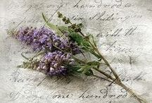 Lavendula- Lavendel