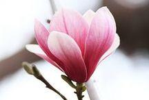 Magnolia- Tulpenboom