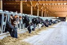 Dairy Barns