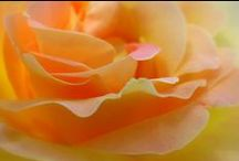 My peace (rose)