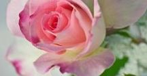 ᖘink & ᖘearple❞ ℛ o s e s  ⓛⓞⓥⓔღ ღ / ✿ڿڰۣ--~ STOP AND SMELL THE ROSES ~❤ ♥