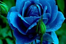 ℛoSes ❝BLuE GrEEn❞ ⓛⓞⓥⓔ✿ڿڰۣ- / ✿ڿڰۣ--~ STOP AND SMELL THE ROSES ~❤