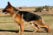 Honden  -  German Shepherd ♥