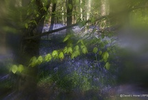 bluebell wood / There is nothing, nothing more magical than a bluebell wood in the last weeks of April and first of May. Sitting on a mossy log, intoxicated by the fragrance of thousands of flowers, there's an ultraviolet haze everywhere you look. Bluebell woods are said to be enchanted, but if you're brave enough to wander there after dark you might just hear nightingales ...  / by Karen Meadows