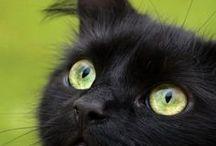 Svarta Katter / I love black cats.