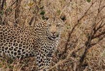 Safari in Afrika / Einmal im Leben möchte ich es machen. Eine Safari in Afrika. Und bis es soweit ist, sauge ich alle Informationen, die ich finden kann, auf wie ein Schwamm. Afrika, ich komme! #Namibia #Südafrika #Tansania #Botswana #Kenia #Uganda