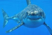 Most amazing creatures on Earth: sharks!