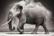 Elefanti B/N