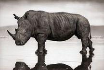 Rinoceronte Bianco e Nero