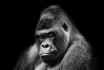 Gorilla - B/N