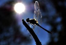 Mystical Dragonflies / Dragonflies--a Touch of Magic