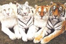 I Love Tigers <3 / by Bobbi Jennings