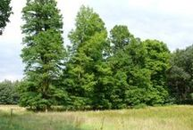 Goirlese bomen / Monumentale bomen in en rond Goirle