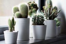 CACTUS | SUCCULENTS / Cactus and Succulents. Cactos e Suculentas.