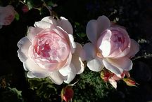 Roses / Roses from my garden