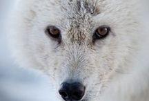 wolven / bord over wolven en hun omgeving