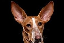 Andalusianpodenco