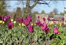 Tulip Festival / Over 20,000 tulips will be in bloom at the world famous gardens at Forde Abbey in May with spectacular swathes of colour to enjoy in the borders and grounds of this former Cistercian monastery. We'll be joined by RHS experts for a day of Q & A talks and award-winning designer, Mig Kimpton.