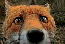 Fox / #fox, #foxes
