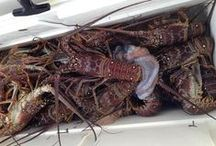 Lobster Diving in the Florida Keys / They are not only good to eat but fun to catch!