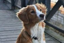 Dogs and foxes and foxy dogs (Nova scotia duck tolling retrievers) / Dog stuff and nova scotias etc