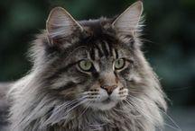 Gatos y  +  Gatos. / Adoro el mundo gatuno.