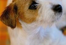 Jack Russel-Hunde-dogs