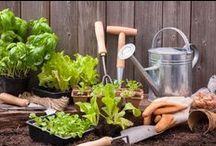 Potagers urbains / Regarder rosir vos fraisiers sur le balcon, planter des tomates sur la terrasse ou aménager un jardin aromatique sur un rebord de fenêtre vous tente ? Petit tour du propriétaire d'une tendance lourde : le jardinage urbain. C'est frais, c'est sain et ça met de la couleur dans vos salades !