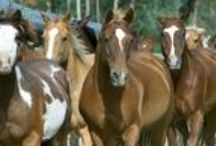 Horses / All horses, all breeds, Quarter Horses, Paint Horses, Appaloosas, the best horses in the world