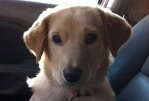 4 tha doggie in my life / Love puppies! Especially my fur baby Daisy. We rescued her when she was only 8 weeks old. Golden retriever and yellow lab. / by Amanda Solorzano