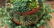 El jardín de mis sueños / suculentas