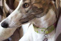 Cherry the greyhound / Our dog