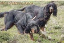 Gordon Setter Aoos / Gordon setter hunting in Hellas