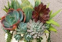 Pozsgások / succulent